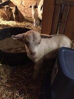 Baby Myotonic Fainting Goats