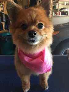 Certified Master Dog Groomer - Small dogs - located in West Hill