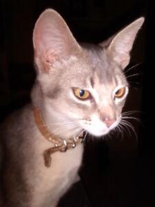 Abyssin chaton croisés