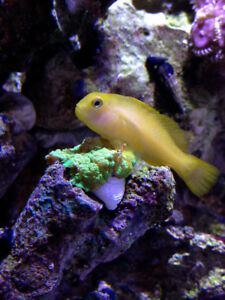 Saltwater pom pom crab and yellow clown goby