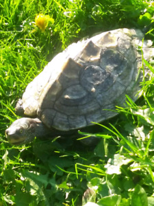 Looking to rehome my turtle