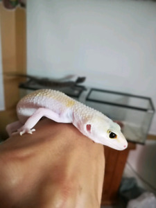 Currently breeding pair of Leopard Geckos