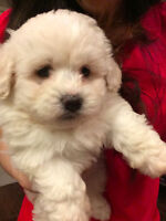 Toy size maltese baby girl for sale