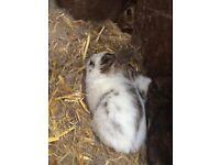 Baby Netherland Dwarf Rabbits For Sale!