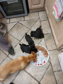 3 female Patterdale Puppies for sale, ready 22nd of August