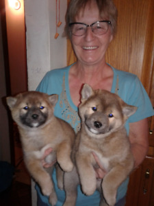 SHIBA INU PUPS  CKC REG'D, One male , One female