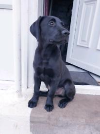 Black labrador 4 month pup