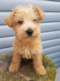 Miniature schnauzer x toy poodle male pup left