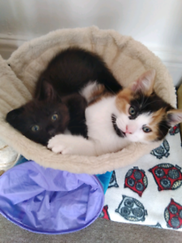 Two gorgeous little kittens for sale