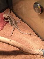 cute cool bébé dragon barbu à vendre