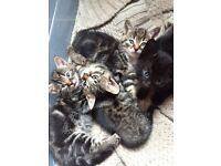 Beautiful Blue Eyed kittens