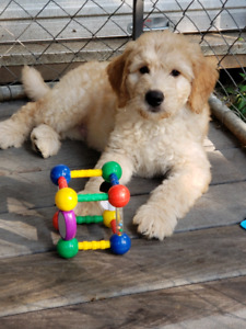Doodle | Adopt Dogs & Puppies Locally in Ontario | Kijiji