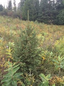 "Mixed coniferous trees From 6"" to 60' Kawartha Lakes Peterborough Area image 3"