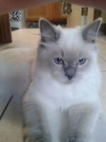 I am looking for a companion for my 10 month old ragdoll