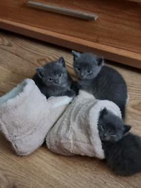 1 male mainecoon Cross Russian blue kitten