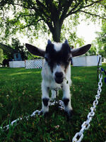 In tact male Pygmy goat