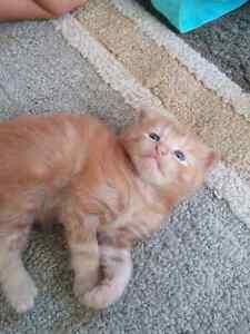 Male orange tabby kitten