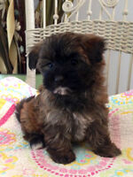 Maltese x Yorkshire Terrier (Morkie) pups! Ready today!