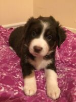 ALL SOLD- THANK YOU!! Australian Shepherd Puppies!!
