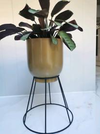 Calathea house plant