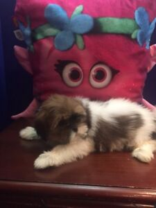 Come today $700 Adorable Shih Tzu Puppies