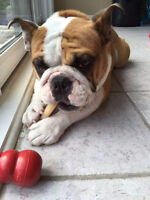 Beautiful English Bulldog Looking for A New Home