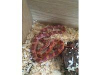 Beautiful Sunkissed/bloodred corn snake c/w everything u need