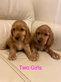 (One boy and one girl left) Golden Cocker Spaniel Pups