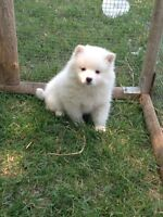 American Eskimo puppy for sale (1 male,1 Female)