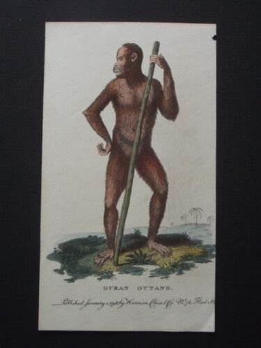 OURAN OUTANG - ORANGUTAN - HARRISON CLUSE 1798 HAND COLORED COPPER ENGRAVING