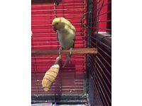 Parakeet found