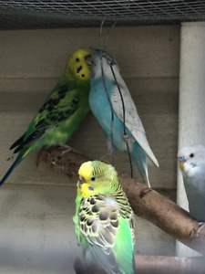 American Budgies available M & F