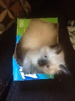 1 Purebred Chocolate Point Ragdoll female left