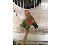 Pair of peach faced lovebirds 2016 birds with cage