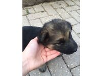 Full pedigree German Shepherd puppies for sale for