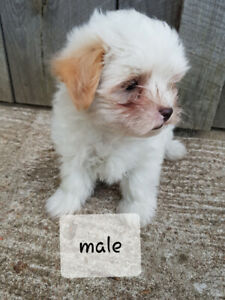 Morkie   Adopt Dogs & Puppies Locally in Ontario   Kijiji Classifieds