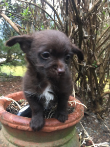 Adorable Poo-Chi's (toy poodle/chihuahua)