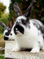 Holland Lop/ Mini Rex Cross Kits