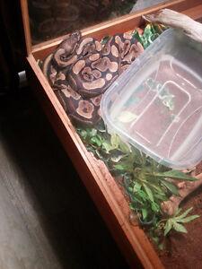 Python royal et son habitat
