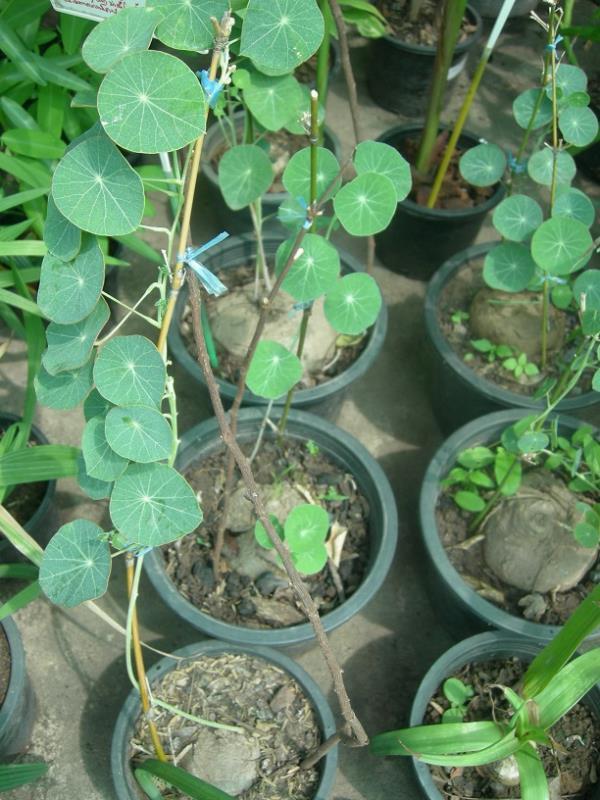 2 Bulbs Mixed Stephania Erecta Craib Menispermaceae Bonsai Succulent Plant