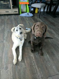 Dog sitting needed for 2 large breed puppies