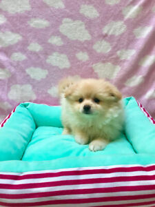 Teacup Puppies   Kijiji in Ontario  - Buy, Sell & Save with Canada's