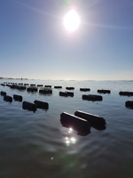 Job Available - Oyster Farming