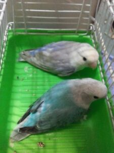 Inséparable/ Lovebird Couple Opaline