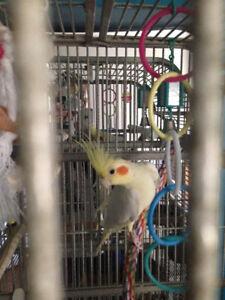 cockatiel avec cage