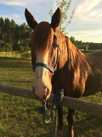 Draft cross gelding for sale