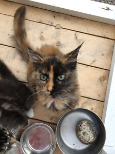 Register female Maine Coon