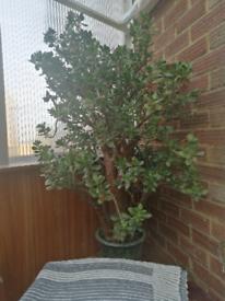 Money tree plants