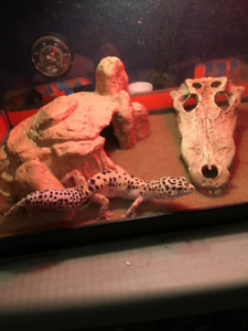 Leopard Gecko, cage and accessories.