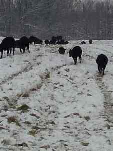 Grass Fed Beef Kitchener / Waterloo Kitchener Area image 9